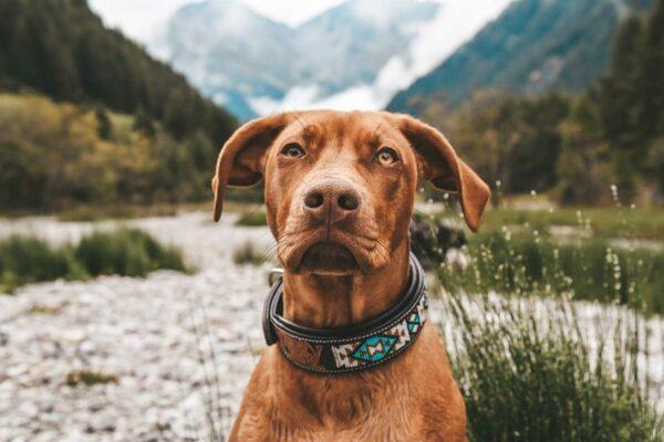 Woodsdog Gordon Lederhalsband