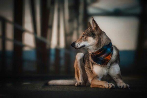 Woodsdog Demon Bandana Logan