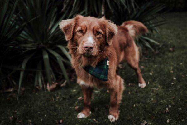 Woodsdog Jack Bandana Yukon