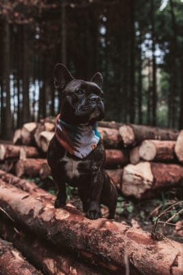 Woodsdog Frenchie Big Sur Bandana