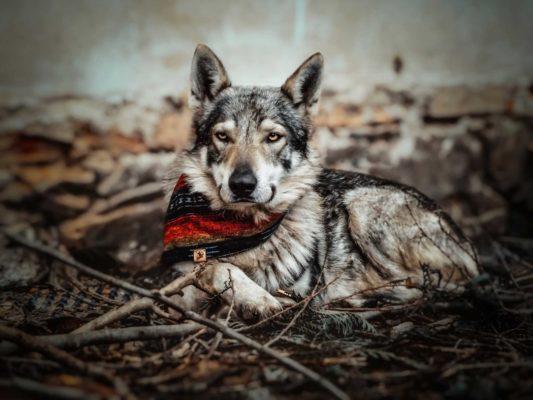 Woodsdog Wolf Seqoia Bandana